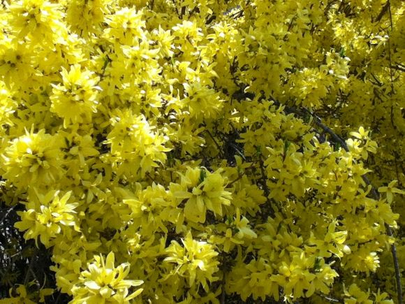 :: photo friday :: forsythia